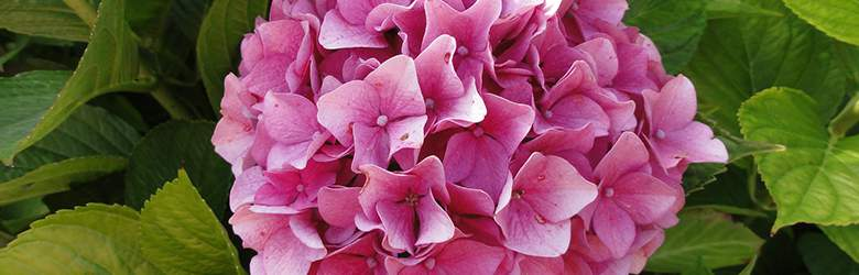 Hydrangea by Blooming Direct